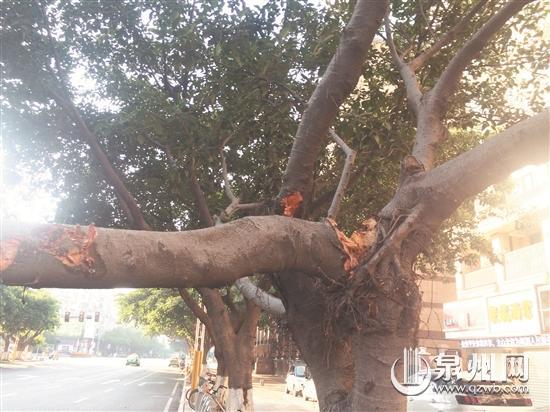粗大的树干仍然连在大树上