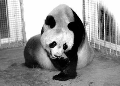 大熊猫来到海沧野生动物园的新家后