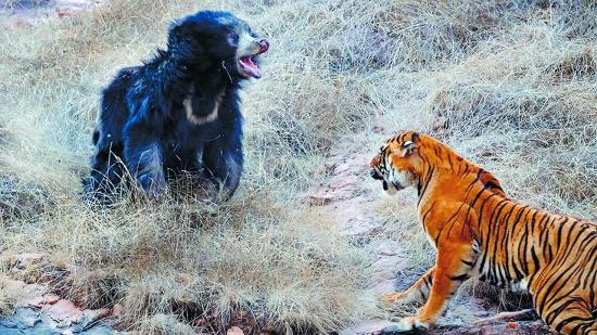 藏獒打架视频咬死老虎