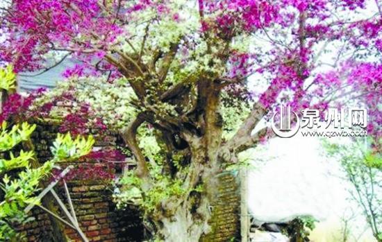 龙岩奇树,一树开出红黄两色花   一棵树开两种颜色的花,半边泛黄半边红。前日,去踏青的市民,都被老邱家这棵奇树给吸引住了。   龙岩老邱家这棵树是红花继木。前日,记者看到,这棵树有数米高,树干较粗。这棵树的神奇之处在于,在树干处就长出短短的枝杈,枝杈上靠近底下的位置,开着许多泛黄色的花朵,往树梢,花色就变成了鲜红色。   一棵树咋会开两种颜色的花?老邱告诉记者,这红花继木,他培植了8年,从山上移栽到院子内,为了让红花继木能够多姿多彩,老邱在红花继木正要枝繁叶茂时,对它进行了嫁接。老邱给红花继木嫁接