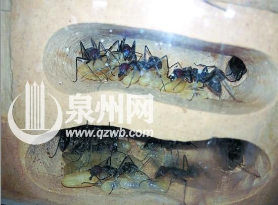 最大 蚂蚁/红头弓背蚁,蚁穴中有幼虫和蛹,是目前国内最大的蚂蚁。
