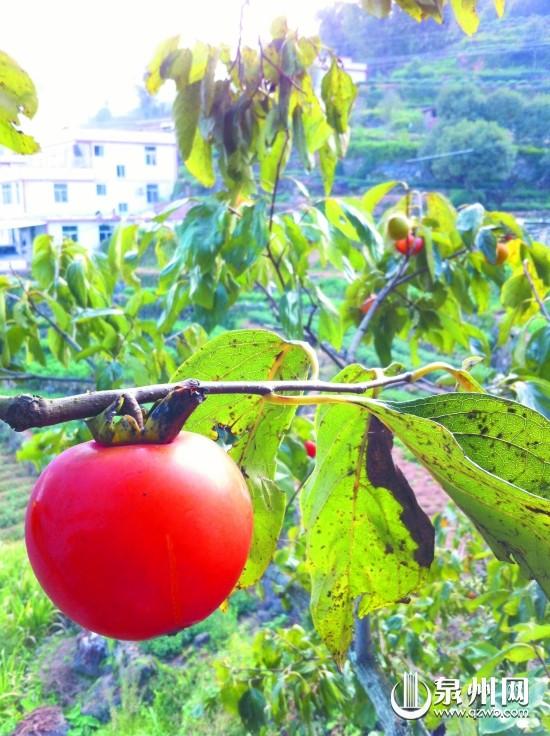 """柿子 数字/山中柿子已红透,皮薄肉鲜味美,闽南有""""霜降吃柿子,不会流..."""