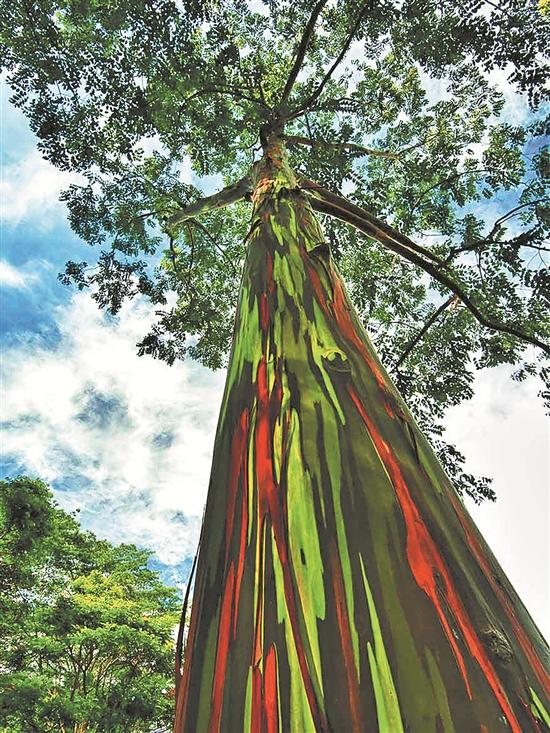 美国夏威夷考艾岛上的彩虹桉树