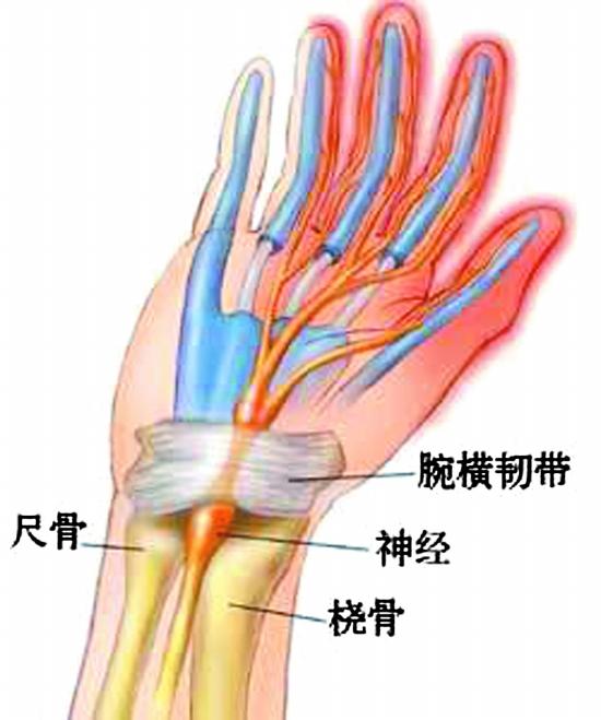 手腕关节解剖图 手腕关节解剖图 腕关节解剖图