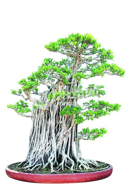 代树茎的榕树盆景